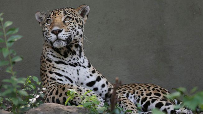 Jaguar Escapes, Kills 8 Animals at Audubon Zoo in New Orleans
