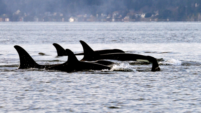 Critically Endangered Puget Sound Orcas Likely to Lose 2 More This Summer, Expert Predicts