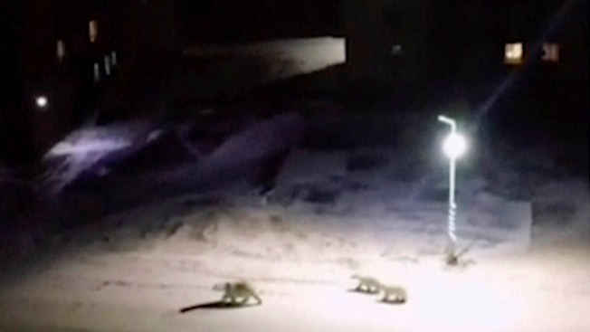 Polar Bears Invade Russian Town, Locals Delighted But Wary
