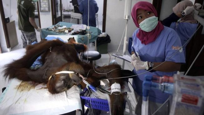 Mother Orangutan Shot by 74 Air Gun Pellets in Indonesia, Left Blind