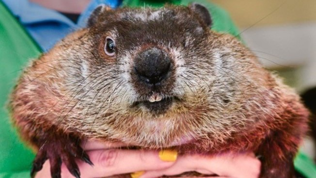 groundhogs at odds over weather predictions nbc connecticut