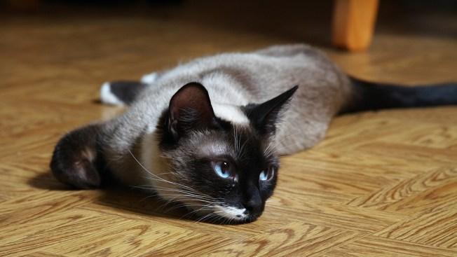 [NATL] 9 Hypoallergenic Cat Breeds That Won't Make You Sneeze
