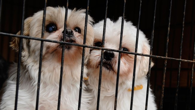 The Puppy Mill Problem Where They Persist And Why Nbc Connecticut
