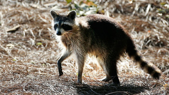 Raccoon Knocks Out Power for Thousands in Central Florida