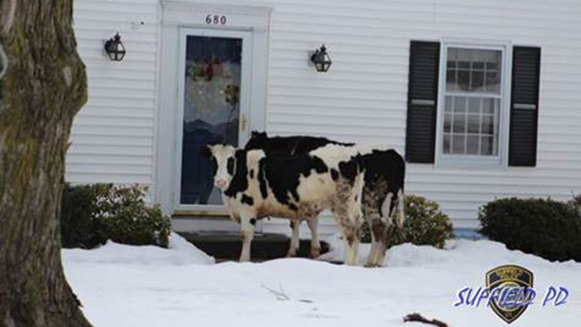 2 cows escape farm and go door to door
