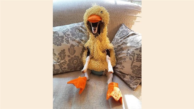 Goat With Anxiety Only Calms Down in Her Duck Costume