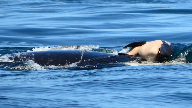 Orca Whale Continued to Carry Her Dead Calf