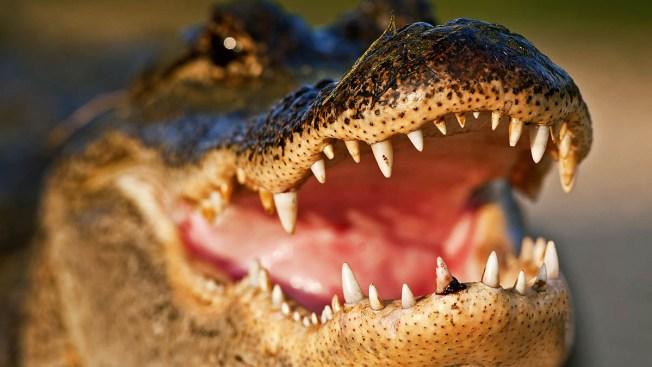 Ocean Swimmers Flee Floating Gator in Florida
