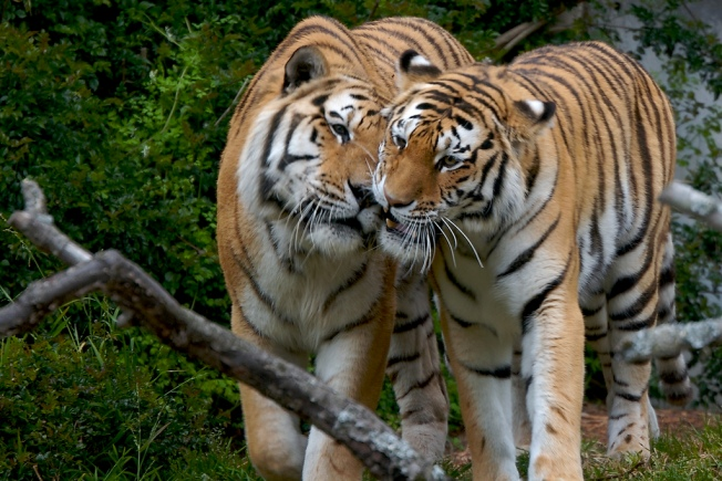 Is Love Enough for These Two Tigers?