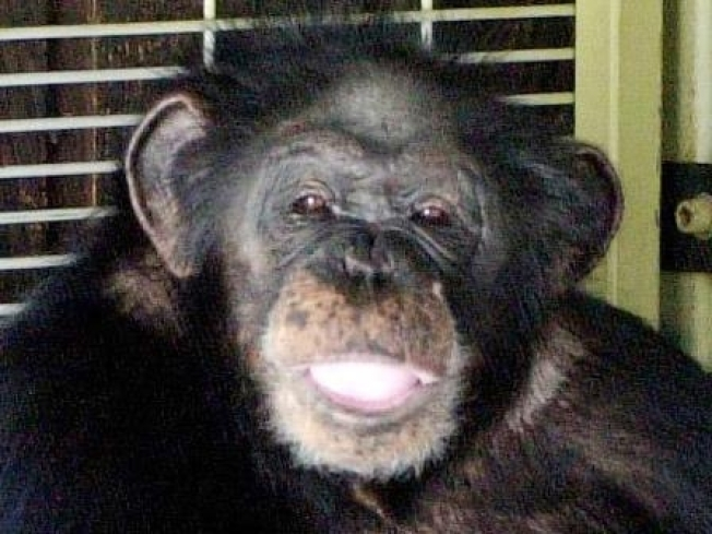 Two Years After Chimp Attack, State Is Cracking Down on Exotic Pets