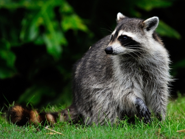 Woman Fights Off Rabid Raccoon