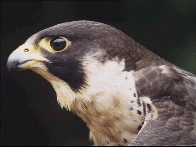 Hungry Falcons Should Get to Eat on Sundays: Lawmakers