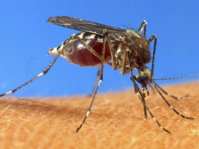 West Nile Mosquitoes Found in 5 Towns