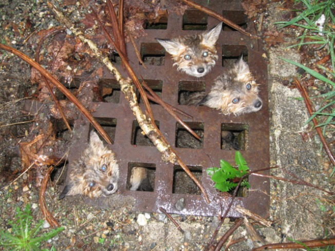 Fox Cubs Rescued From Storm Drain