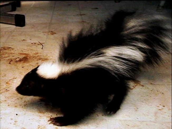 Rabid Skunk Found in Cheshire