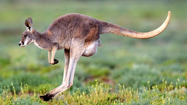 Kangaroo-Serving NYC Restaurant Says Marsupial More Popular Than Beef