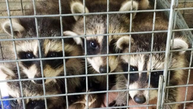 Baby Raccoons, Toys, Milk Mysteriously Left on Doorstep
