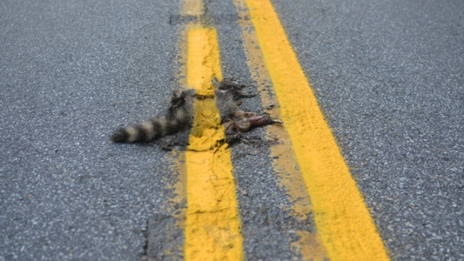 Candidate Sees Roadkill as Food, Not Waste
