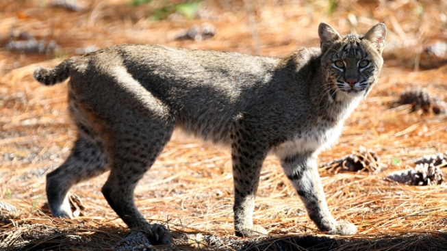 Bobcats Put Families on Alert