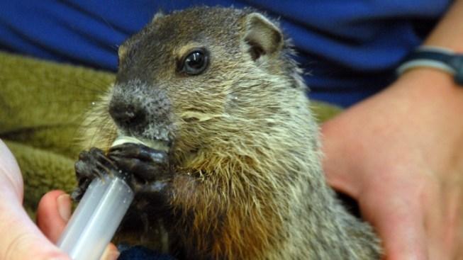 New State Groundhog