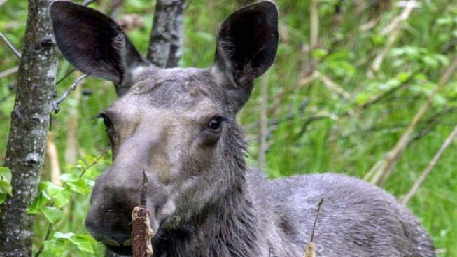Moose Sightings on the Rise