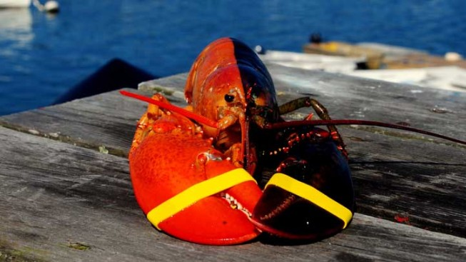 Two-Tone Lobster, Orange and Brown, Shown in Maine