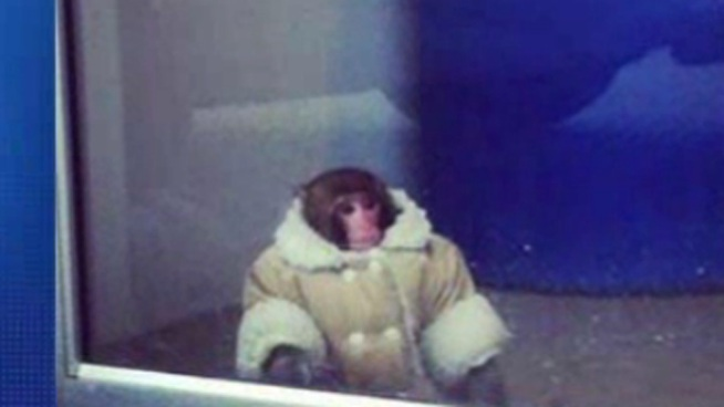 Well-Dressed Monkey Roams Ikea Parking Lot