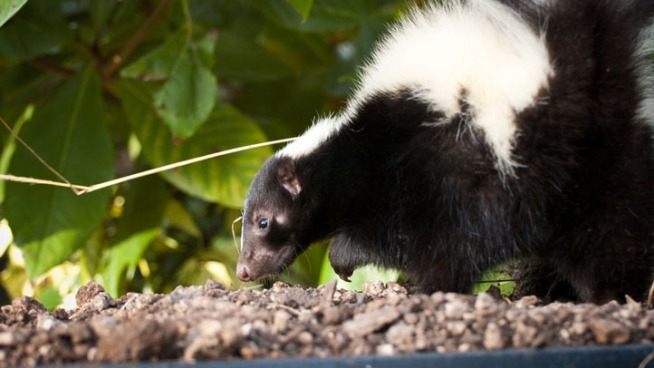 Woman Bitten By Rabid Skunk in Cheshire
