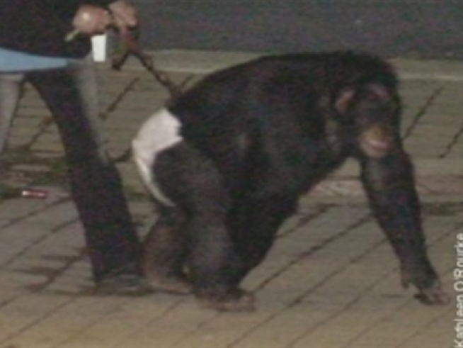 Police release the frenzied calls for help during chimp attack in Stamford.