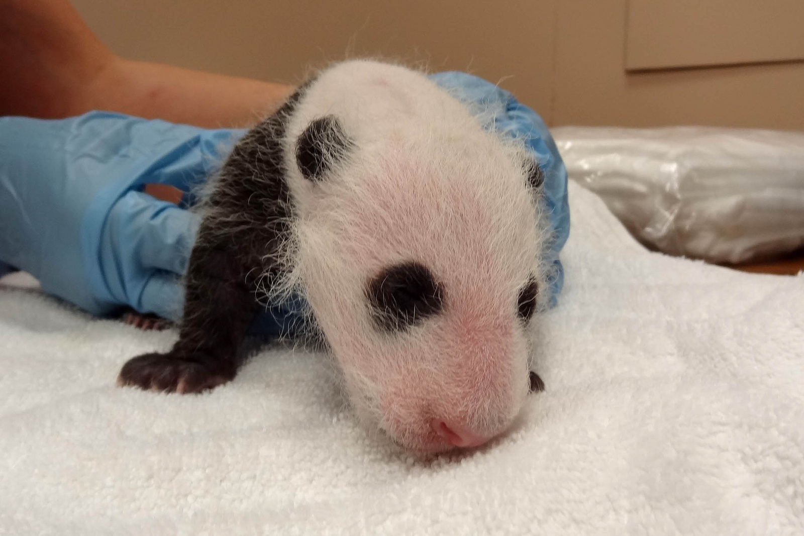 The National Zoo's female panda cub underwent her first comprehensive vet exam Tuesday and now weighs almost two pounds, vets say.