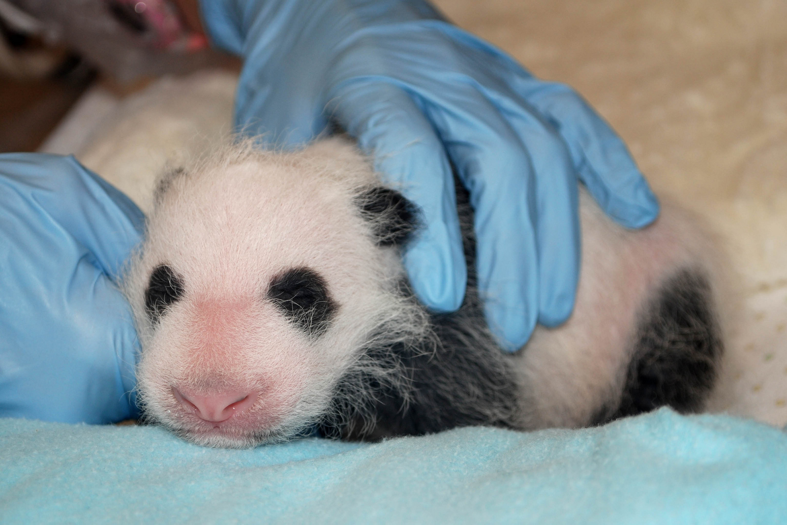 The National Zoo's new panda cub has more than doubled her weight since her preliminary health check Aug. 15, zoo officials said Tuesday. (Photo: Smithsonian's National Zoo)