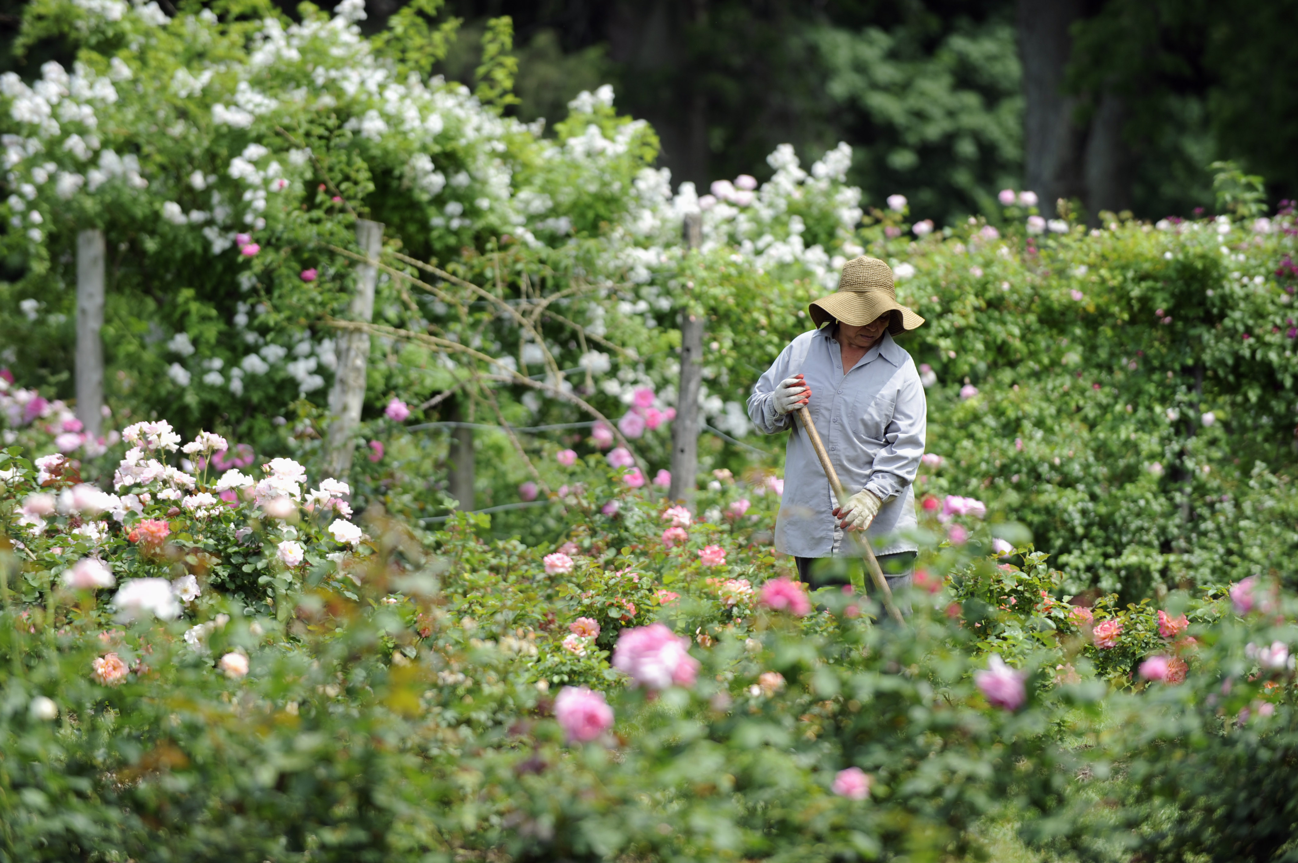 Rosalinda Salcedo tends to roses in Elizabeth Park in Hartford, Conn., Wednesday, June 8, 2011.