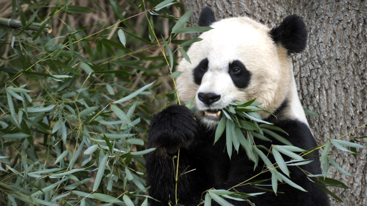 The Smithsonian's National Zoo is on a 24-hour panda pregnancy watch as it tries to determine whether Mei Xiang is expecting. Zookeepers say she's spending more time in her den, is sensitive to noise and is shredding bamboo for a nest — all signs that she may be expecting. See for yourself in this
