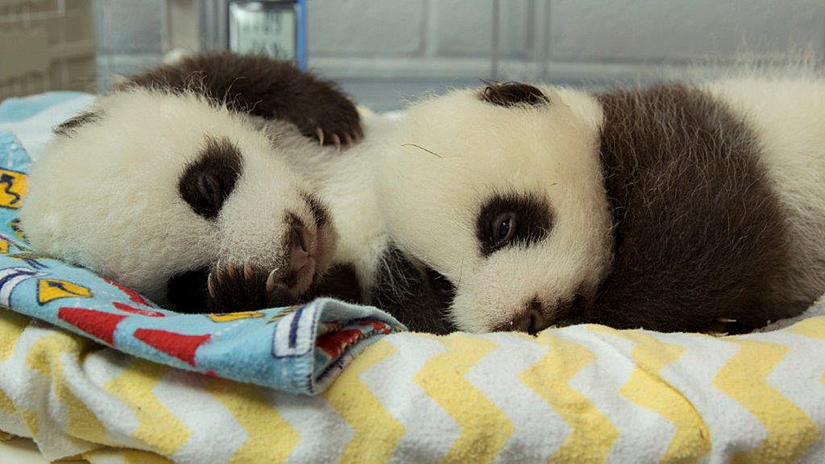 This undated photo provided by Zoo Atlanta on Nov. 1, 2016, shows twin panda cubs born at the zoo on Sept. 3, 2016, in Atlanta. Atlanta's zoo has revealed that each of its giant panda twins born nearly two months ago is female.