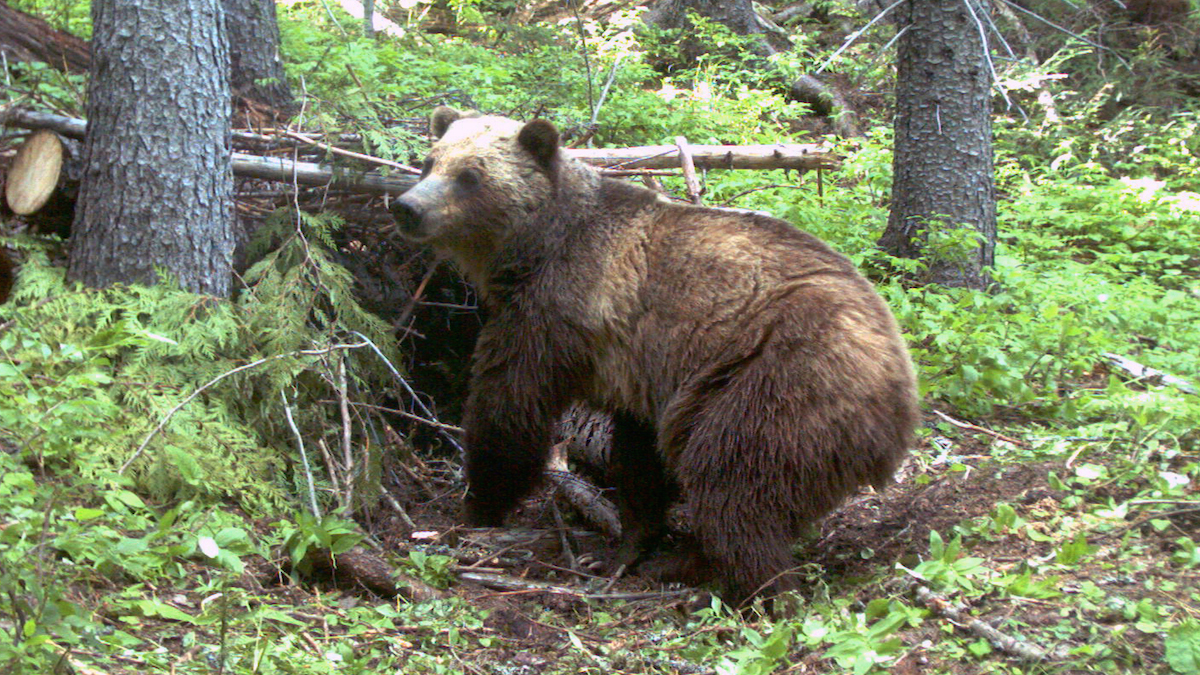 In this June 20, 2014 file photo an adult female grizzly bear in the Cabinet Mountains, part of the Rocky Mountains, located in northwest Montana.