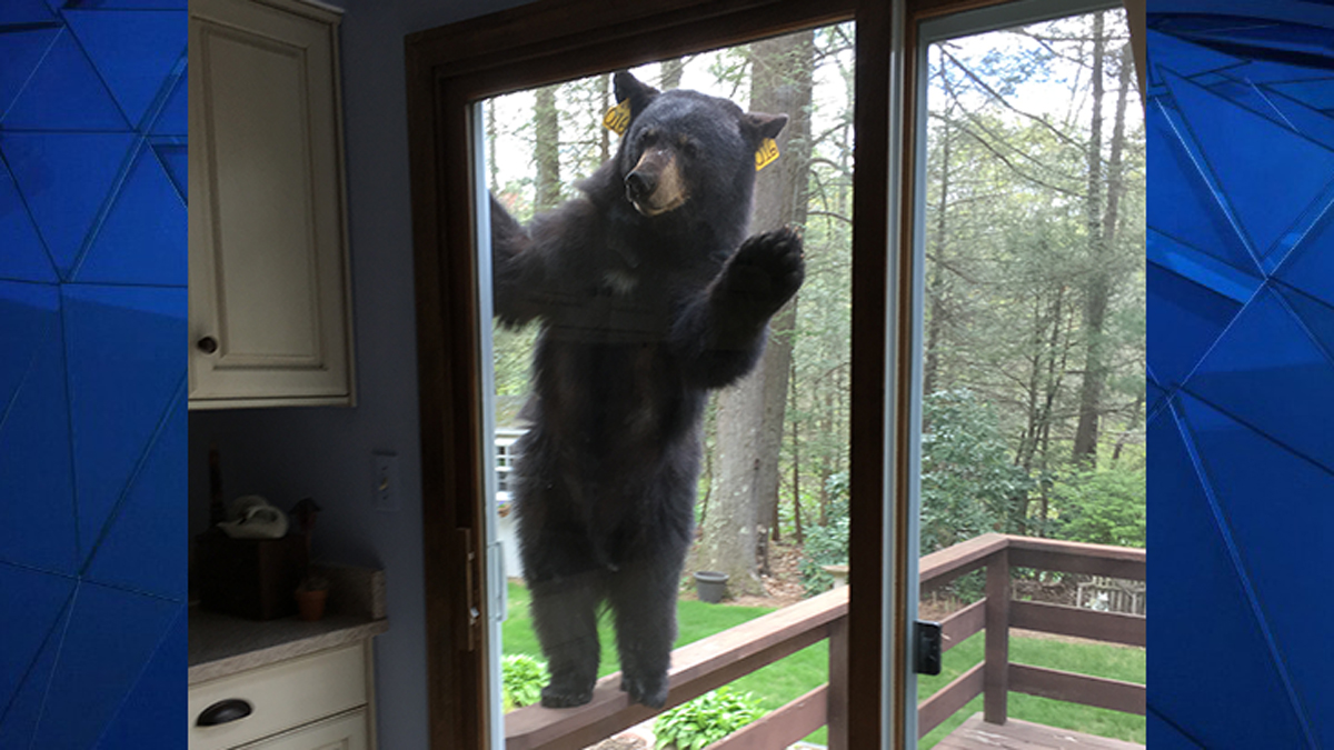 A bear got right up against the glass sliding door at an Avon home last week.