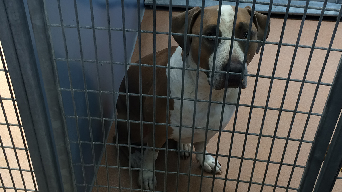 The American Staffordshire Terrier under quarantine after an attack in the Mira Mesa area.