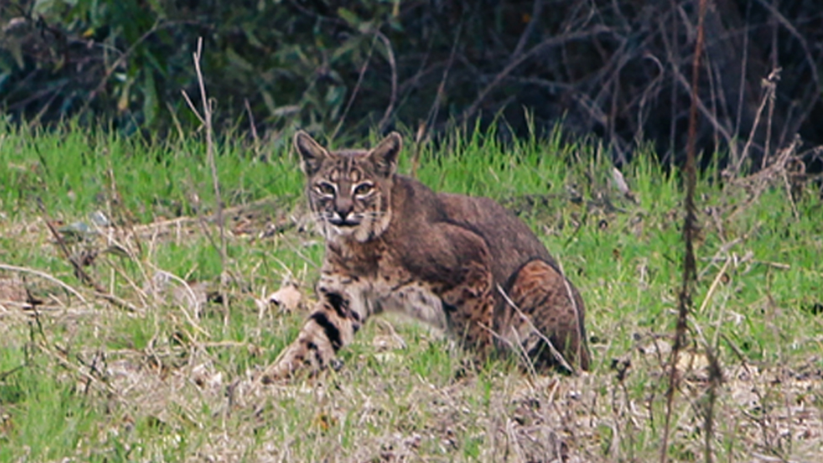 (This is not the actual bobcat spotted in Waterford.)