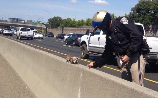 This image provided by the Contra Costa, California CHP shows an officer  rescuing a Chihuahua off Interstate 680 in Walnut Creek. The Contra Costa CHP posted the photo of the rescue on Twitter saying: