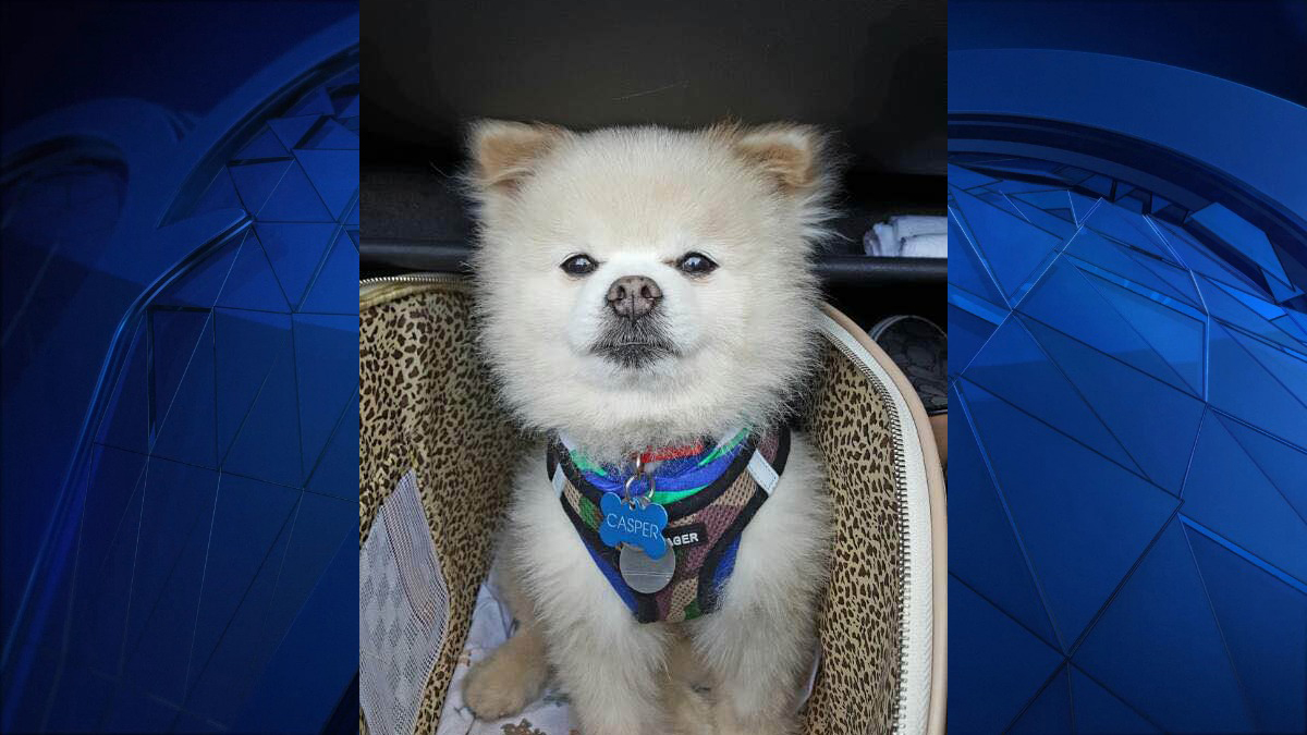 "This 12-year-old Pomeranian, named Casper, was stolen from a blue Audi Quattro parked in the parking lot at 1145 North Colony Road sometime between 8 p.m. and 8:45 p.m. Casper weighs six to seven pounds, has a ""bent cotton ball like tail,"" and was wearing dark blue sleeveless hooded vest and camouflage harness when he was last seen."