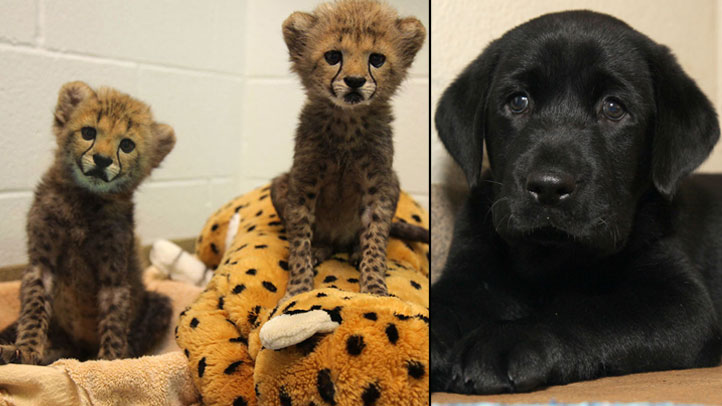 Winspear, left, and Kamau, the Dallas Zoo's new 8-week-old cheetah cubs and Amani, the cubs' puppy companion.