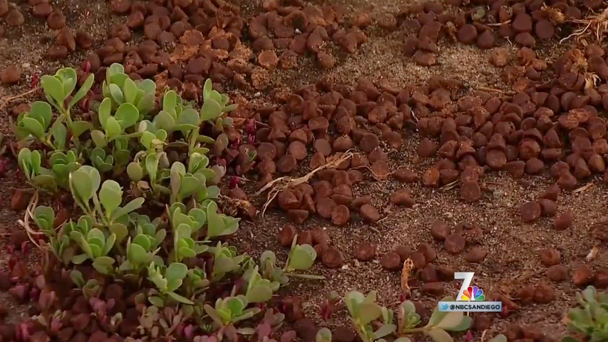 The chocolate chips dumped on a yard in North Park by a resident hoping to deter dogs from walking past his home.