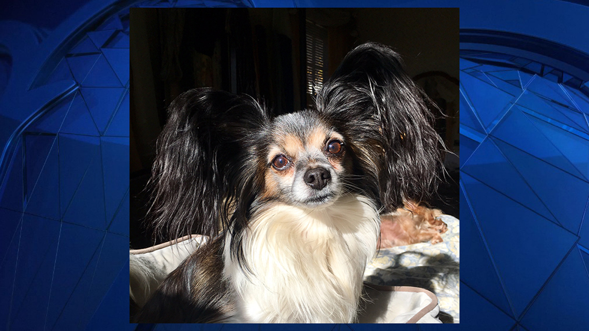 10-year-old Dylan the Papillon was killed by a coyote in his owner's backyard in Waterbury on Saturday.