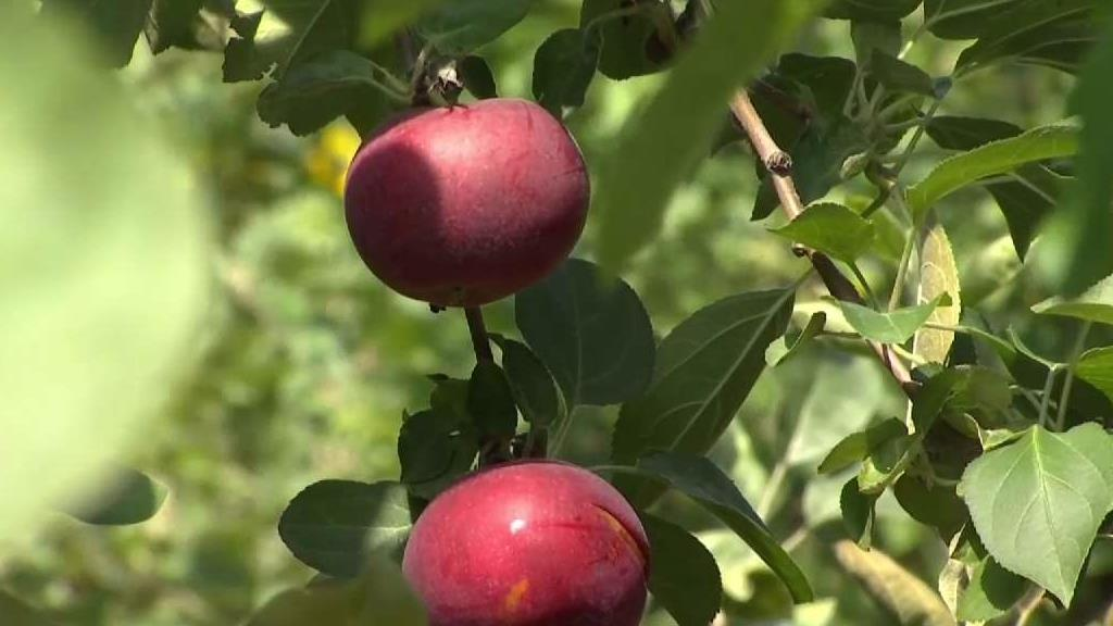 The early Macintosh apples are ready for picking (and eating!) at Lyman Orchards.