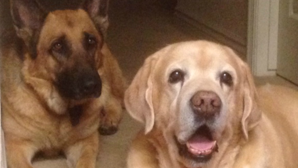 """11-year-old Labrador """"Remo,"""" and 4-year-old German Shepherd, """"Nella"""" are still recovering from kidney failure, lethargy and diarrhea after eating Purina's Beneful kibble dog food, according to a lawsuit."""