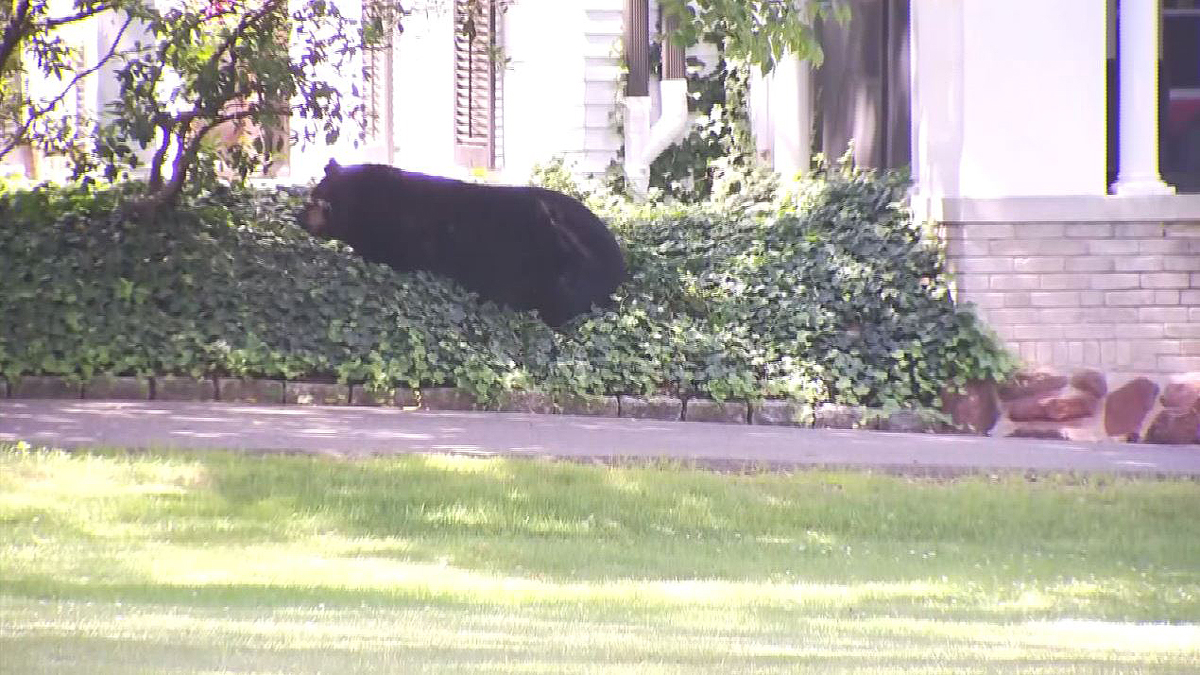 A bear lounged around in this yard on Main Street in Farmington Monday, June 26, 2017.