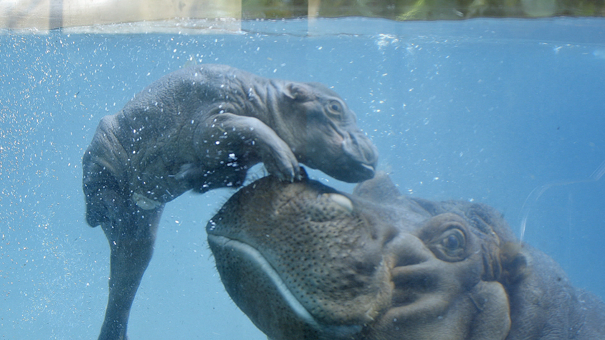 Mother Funani and her new baby hippo.