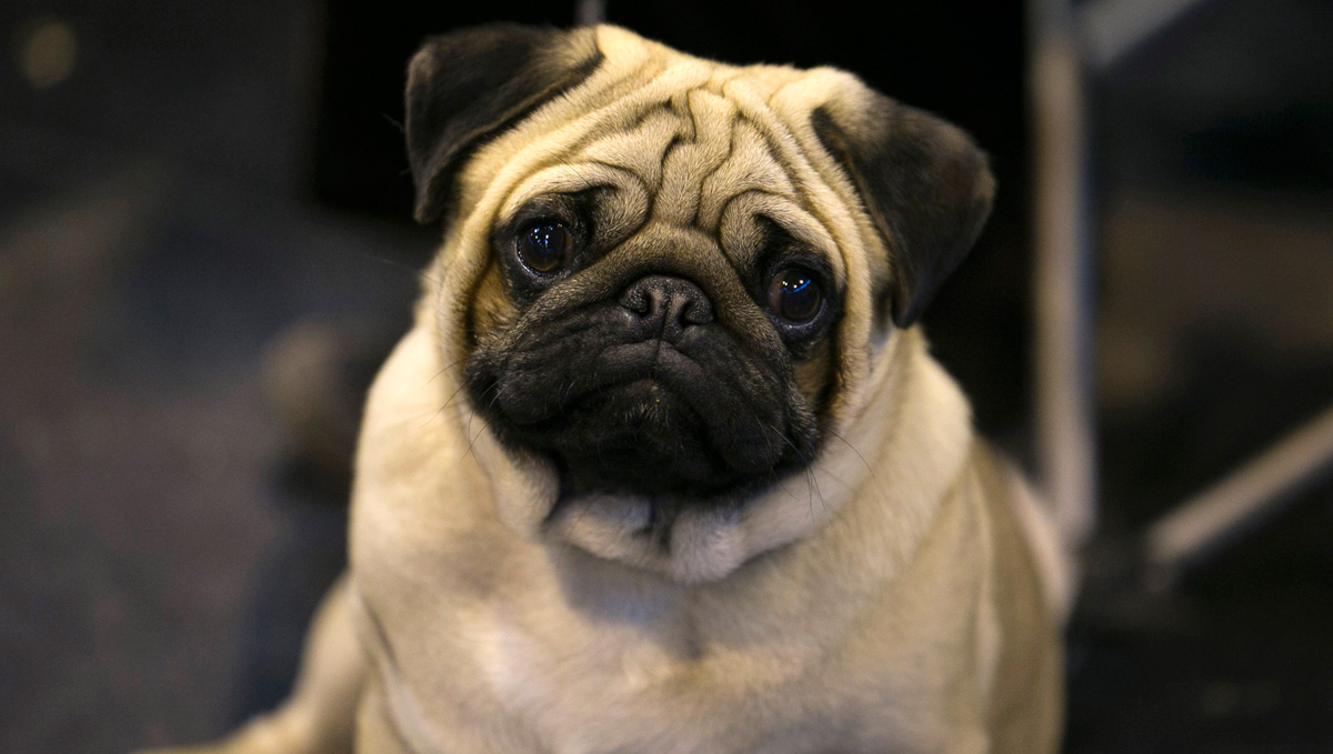 A pug dog sits with its owner on the Toy and Utility day of the Crufts dog show at the NEC on March 8, 2014, in Birmingham, England. The Guardian reported that the British Veterinary Association is discouraging prospective pet owners from adopting flat-faced breeds.