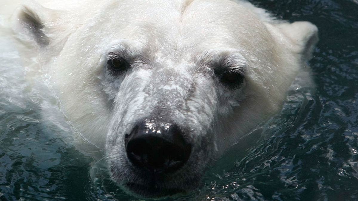 A file photo of a polar bear. Five meteorologists were rescued from their weather station on a remote Russian island.