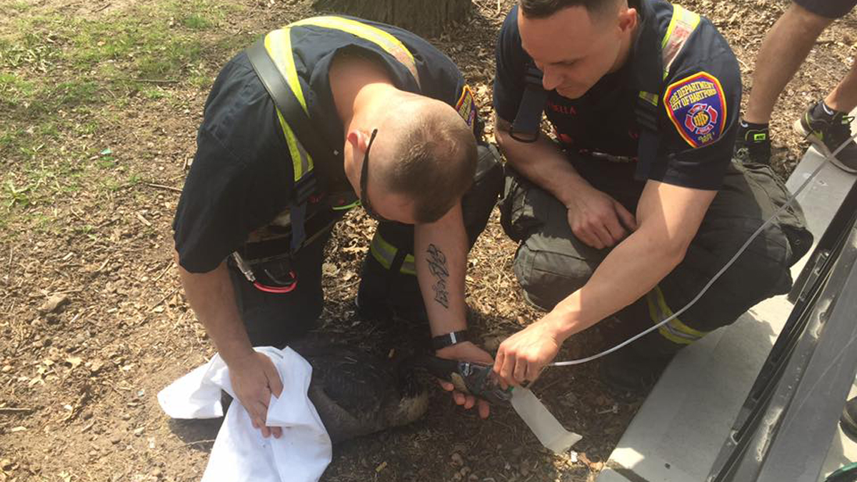 Hartford firefighters responded to help rescue a goose stuck in a storm drain at Bushnell Park Saturday.